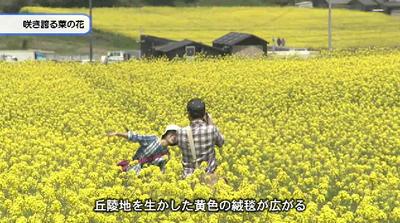Sakihokoru_nanohana_20170415b